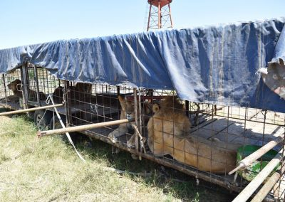 Lions being rescued