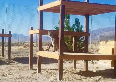 Cooper the Mountain Lion's new climbing structure and trees