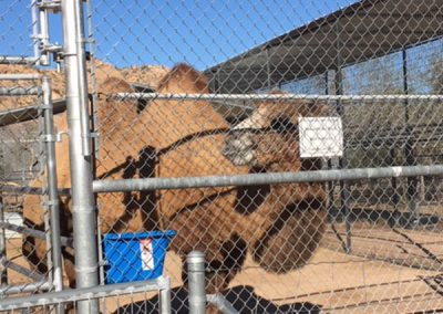 Hoover (Bactrian Camel)