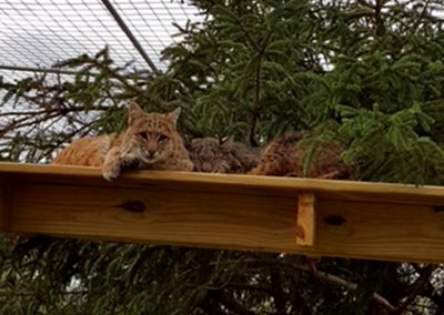 Bobcat Morgan sunning himself on skywalks in the snow