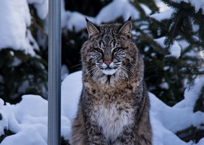Autumn-Bobcat-at-WCS-2